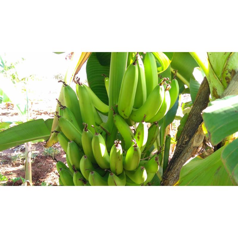 Banana Chifre de Boi