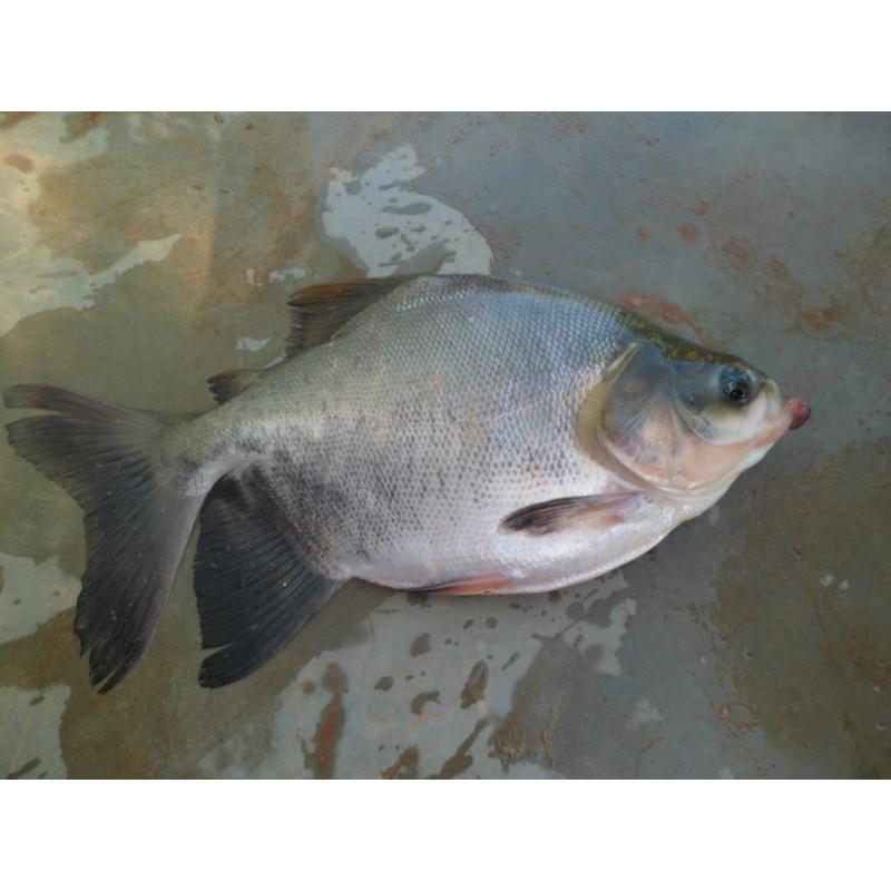 Peixe Tambaqui